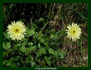 Urospermum dalechampii Asteraceae Urosperme de Daléchamps Photo: D.M.